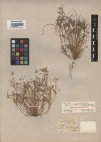 Original material of Claytonia gypsophiloides Fisch. et C.A. Mey. [family PORTULACACEAE]