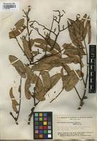 Original material of Martiodendron macrocarpon Gleason [family FABACEAE]