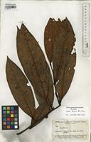 Isotype of Guatteria discolor R.E. Fr. [family ANNONACEAE]