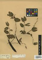 Holotype of Bauhinia affinis Vogel [family FABACEAE]