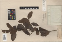 Isotype of Strychnos triclisioides Baker [family LOGANIACEAE]