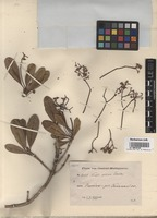 Isotype of Nuxia coriacea Soler. [family BUDDLEJACEAE]