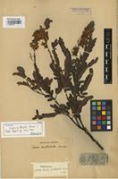 Isotype of Cassia mollifolia Harms [family FABACEAE]