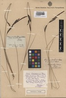 Type of Carex homalocarpa Peterm. [family CYPERACEAE]
