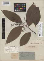 Isolectotype of Goeppertia anomala Nees [family LAURACEAE]