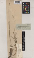 Syntype of Brachypodium longearistatum Boiss. [family POACEAE]