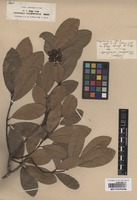 Isotype of Tetranthera celastroides Miq. ex Meissn. [family LAURACEAE]