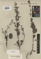 Isotype of Scrophularia crenophila Boiss. [family SCROPHULARIACEAE]