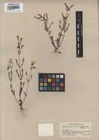 Isotype of Mimulus bicolor Hartw. ex Benth. f. concolor Pennell [family SCROPHULARIACEAE]
