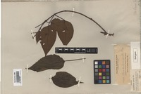 Isotype of Clerodendrum preslii Elmer [family LAMIACEAE]