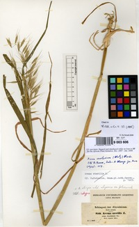 Isotype of Avena strigosa Schreb. subsp. abyssinica (Hochst.) Thell. [family GRAMINEAE]