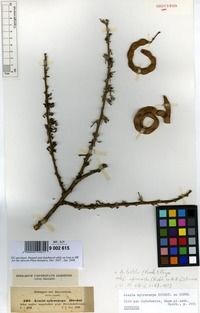 Isosyntype of Acacia spirocarpa Hochst. ex A.Rich. [family LEGUMINOSAE-MIMOSACEAE]