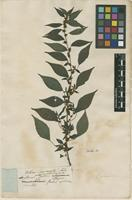 Filed as Boehmeria indet. [family URTICACEAE]