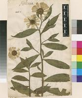 Lectotype of Helenium autumnale L. [family ASTERACEAE]