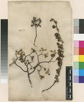 Lectotype of Salix repens L. [family SALICACEAE]