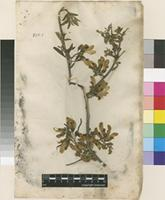 Lectotype of Anagyris foetida L. [family FABACEAE]