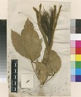 Lectotype of Sophia carolina L. [family MALVACEAE]