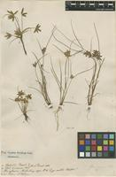 Filed as Cyperus flavescens L. [family CYPERACEAE]