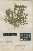 Filed as Trifolium indet. [family FABACEAE]
