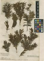 Filed as Taxus baccata L. [family TAXACEAE]