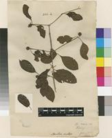 Filed as Nauclea orientalis (L.) L. [family RUBIACEAE]