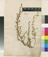 Lectotype of Salsola muricata L. [family AMARANTHACEAE]