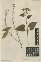 Filed as Lunaria rediviva L. [family BRASSICACEAE]