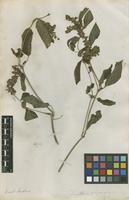 Filed as Dianthera indet. [family ACANTHACEAE]