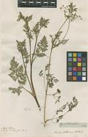 Filed as Scandix anthriscus L. [family APIACEAE]