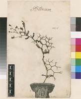Lectotype of Poterium spinosum L. [family ROSACEAE]