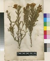 Filed as Chironia frutescens L. [family GENTIANACEAE]
