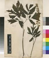 Lectotype of Actaea racemosa L. [family RANUNCULACEAE]