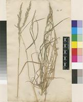 Lectotype of Agrostis mexicana L. [family POACEAE]