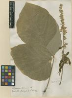Filed as Hedysarum tuberosum Roxb. ex Willd. [family FABACEAE]