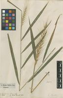 Filed as Elymus hystrix L. [family POACEAE]