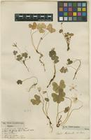 Filed as Oxalis acetosella L. [family OXALIDACEAE]