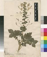 Lectotype of Cleome pentaphylla L. [family CLEOMACEAE]