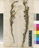 Lectotype of Passerina ericoides L. [family THYMELAEACEAE]