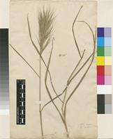 Lectotype of Bromus madritensis L. [family POACEAE]