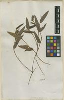 Filed as Crotalaria indet. [family FABACEAE]