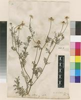 Lectotype of Anthemis cotula L. [family ASTERACEAE]