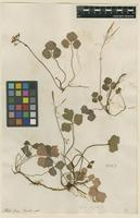 Filed as Cardamine trifoliata Hook.f. & Thomson [family BRASSICACEAE]