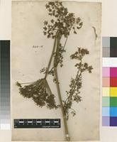 Filed as Selinum indet. [family APIACEAE]