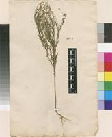 Lectotype of Polygala paniculata L. [family POLYGALACEAE]