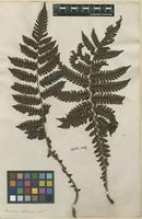 Filed as Polypodium indet. [family POLYPODIACEAE]