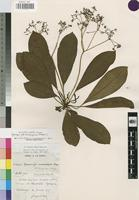 Isotype of Rauvolfia tchibangensis Pellegr. [family APOCYNACEAE]