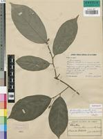 Isotype of Neostenanthera micrantha Exell [family ANNONACEAE]
