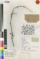 Isotype of Commiphora franciscana Capuron [family BURSERACEAE]