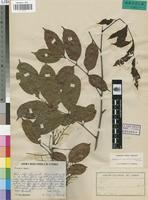 Isotype of Pachylobus mayumbensis Exell [family BURSERACEAE]