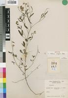 Isotype of Crotalaria nudiflora Polhill [family LEGUMINOSAE-PAP]